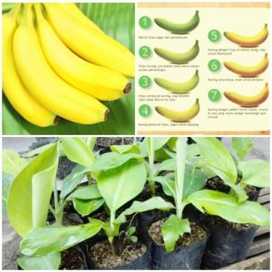 pisang-cavandish