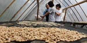 pengeringan kacang tanah